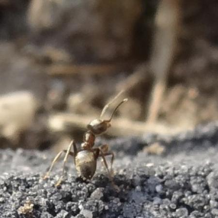 rondkijkende mier